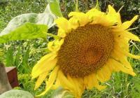 Семена подсолнечника Альманзор