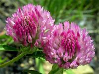 Семена клевера красного или лугового (Trifolium pratense)