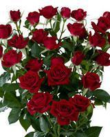 Саженцы, кусты роз