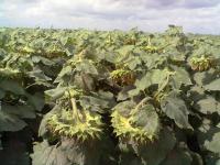 Семена подсолнечника Рембо (120 дн)