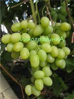Сорт винограда Богатяновский