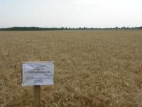 Семена пшеницы яровой Струна мироновская, элита