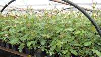 Безвірусні саджанці in vitro - Троянди