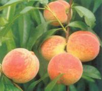 Саженцы персика Киевский ранний