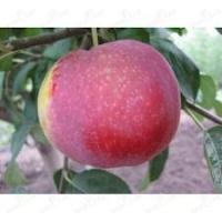 Саженцы яблони ВИСТА БЕЛЛА