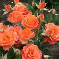 Саженцы розы бордюрной
