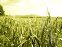 Повышение урожайности озимой пшеницы