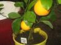 Апельсин комнатный сорт Вашингтон Навел