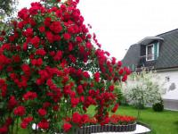 Саженцы роз плетистых Flammentanz