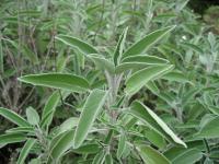 Шалфей лекарственный, трава. Шавлія лікарська ,трава