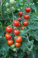 Семена томатов Бейбино F1