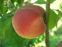 Саженцы персика Гривна