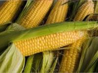 Семена кукурузы Вымпел МВ (им. Юрьева)