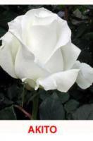 Саженцы роз Акито