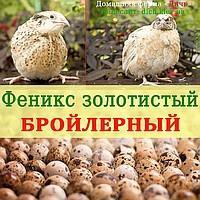 Инкубационное яйцо перепела Феникс золотистый