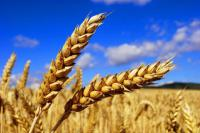 Фунгициды для зерновых Тебуконазол Стар (д.в. тебуконазол)