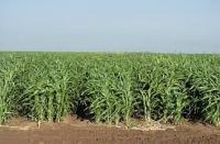 Семена травы Суданки