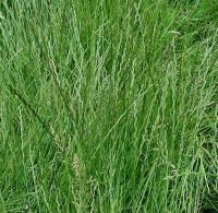 Семена райграса пастбищного