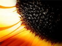 Семена подсолнечника Евралис Семенс