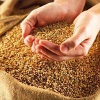 Насіння пшениці Подолянка
