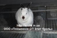 Гибрид кроликов HILA