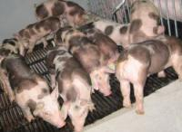 Свинки Ландрас