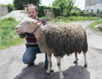 Вівці племенні