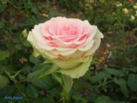 Саженцы розы Айс Квин