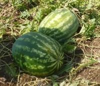 Семена арбуза Васко F1 (1000 семян) Никерсон-Цваан