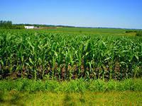 Семена кукурузы Днепровский - 257 СВ