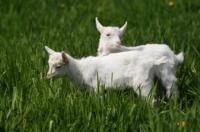 Племенной молодняк коз Зааненской породы