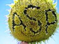 Семена подсолнечника Альбатр F1
