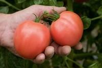 Семена помидор Торбей Бейо
