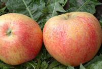 Саженцы яблони Теремок