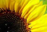 Семена подсолнечника, сорта и гибриды