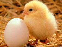 Яйцо для выведения бройлеров