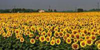 Українське сонечко насіння соняшнику