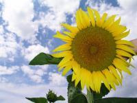 Семена подсолнечника Жалон Франция