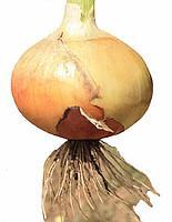 Семена лука репчатого Эталон Сан
