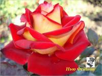 Чайно-гибридные саженцы роз Нью Фейшон