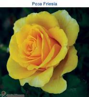 Саженцы розы Фрезия