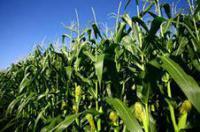 Семена кукурузы МАГ