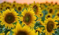 Насіння соняшнику УКРАЇНСЬКЕ СОНЕЧКО ( ВНІС)
