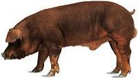 Племінні свинки та кнурі