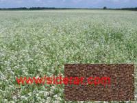 Семена редьки масличной (сидерат)