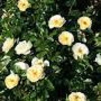 Саженцы роз почвопокровных