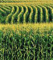 Семена кукурузы Днепровский - 181 СВ