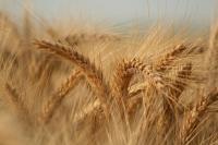 Семена пшеницы Подолянко