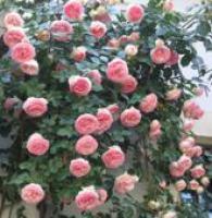 Саженцы роз Плетистые