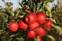 Гала Маст(Н.Зеландия) — Саженцы яблони